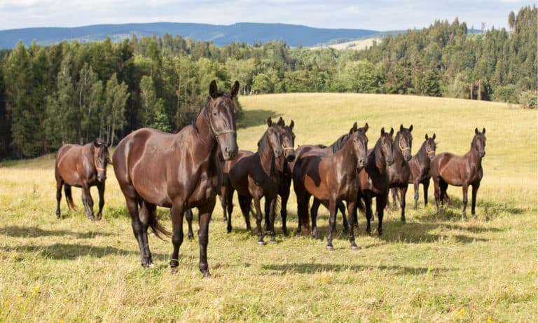 Which Breed Of Horse Originated In Czechoslovakia