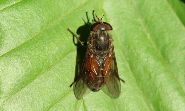 Why Do Horseflies Bite (Prevention Tips)