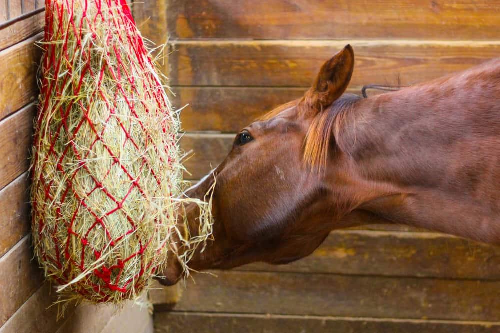 horse eat hay